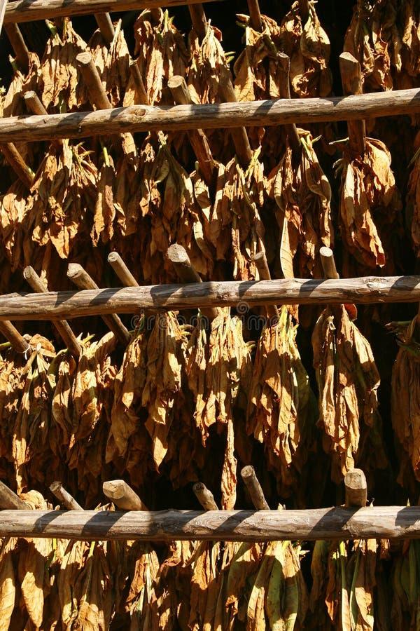 Tabak lässt Trockner im Stall. Vinales, Kuba lizenzfreie stockbilder