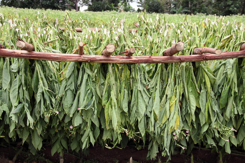 Tabak treibt Blätter, trocknend in einem Bauernhof, in den vinales, Kuba stockfoto