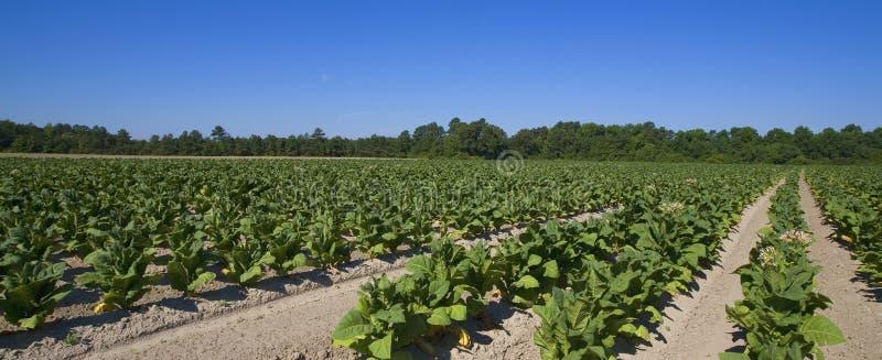Tabakbauernhof lizenzfreie stockbilder