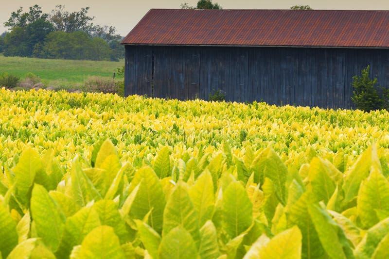 Tabakbauernhof lizenzfreies stockbild