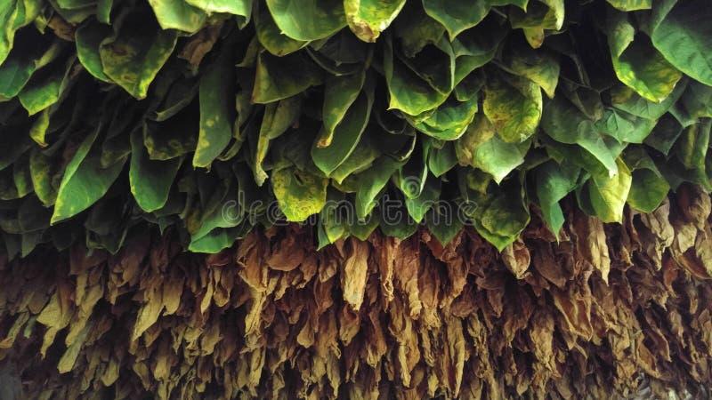 Tabaksbladeren in Cuba stock foto's