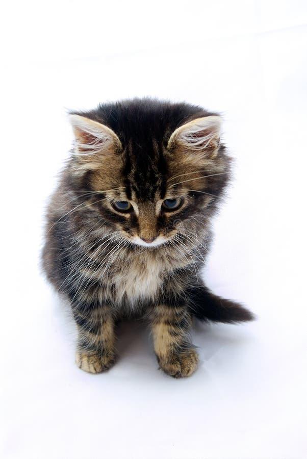 tabby котенка застенчивый стоковые фото