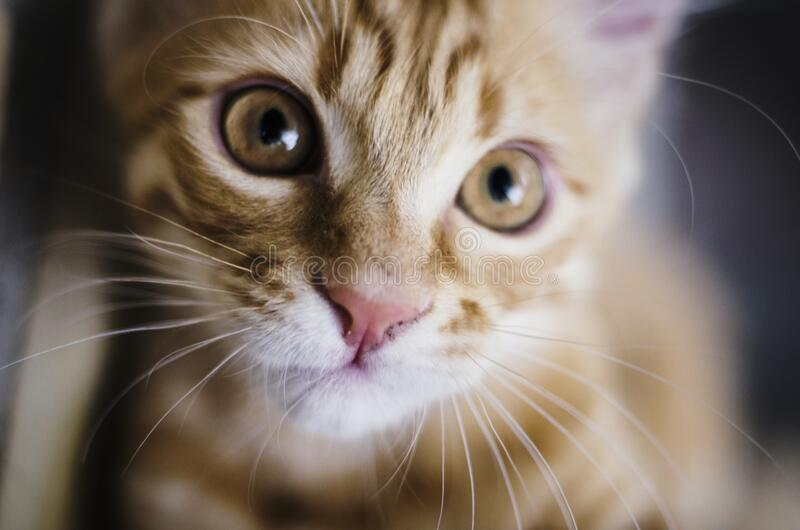 Желтый кот tabby стоковое изображение rf