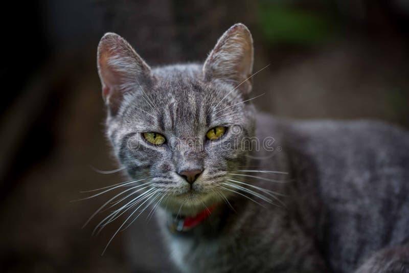 Серый кот Tabby стоковая фотография