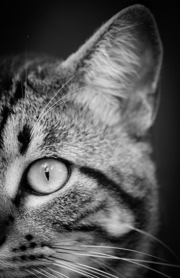 Близкая фотография и фотография серой шкалы кота Tabby стоковые изображения