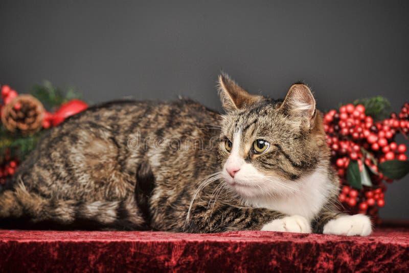 Tabby bożych narodzeń kot obrazy stock