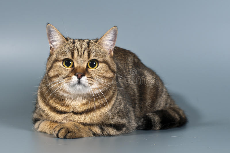 Tabby britânico do shorthair do gato foto de stock