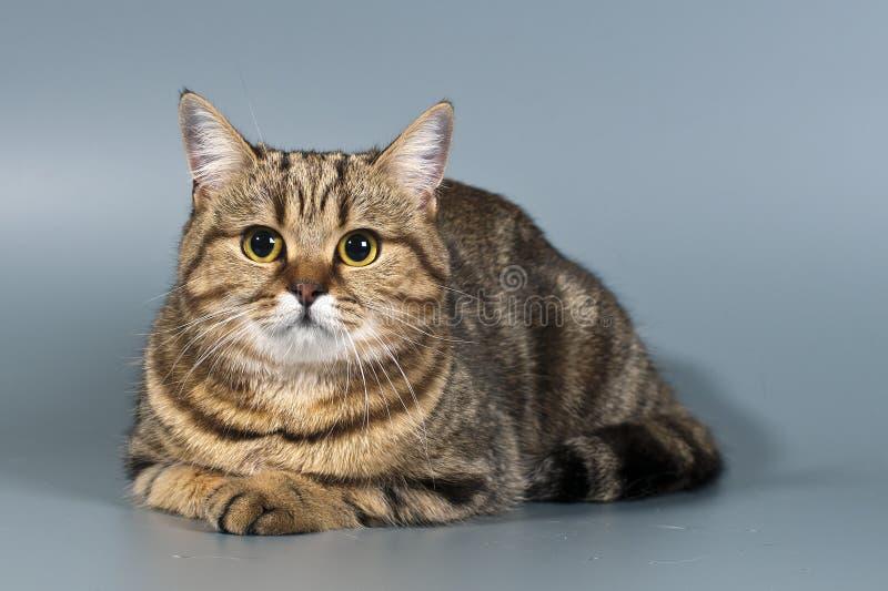 Tabby britannico dello shorthair del gatto fotografia stock