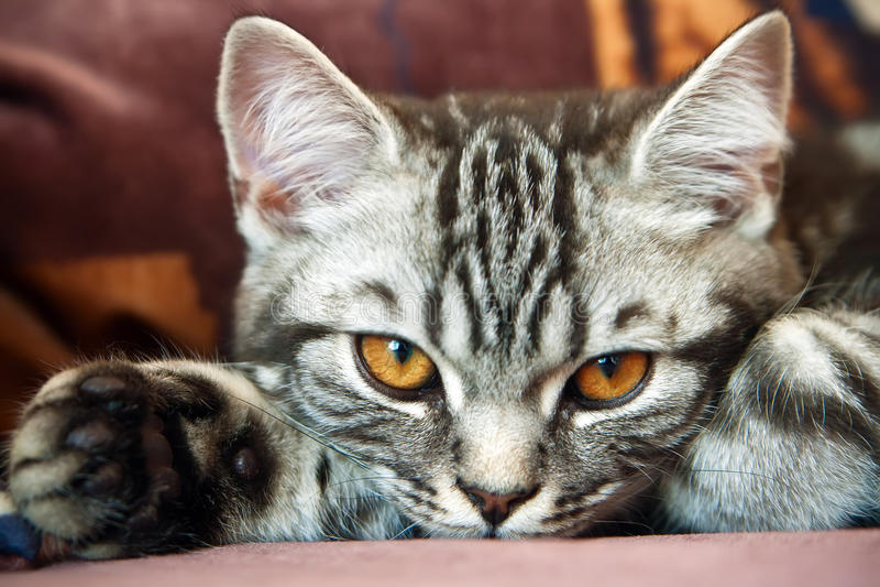 Tabby-Briten-Kätzchen stockbilder