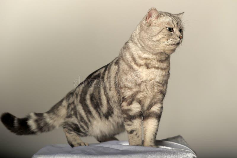 Tabby-Briten-Katze stockfotografie