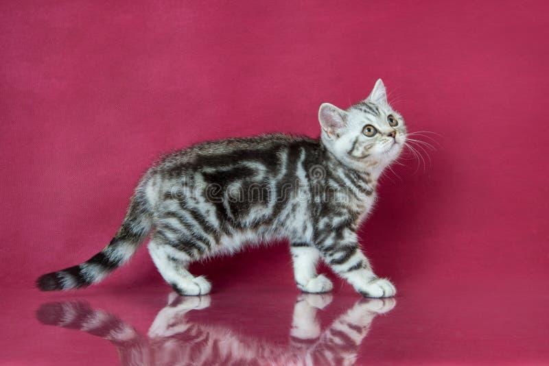 Tabby British-shorthair Kätzchen, Großbritannien-Katze auf Kirschstudiohintergrund mit Reflexion lizenzfreie stockfotos