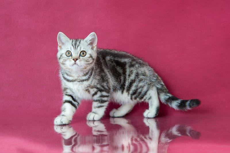 Tabby British-shorthair Kätzchen, Großbritannien-Katze auf Kirschstudiohintergrund mit Reflexion lizenzfreie stockfotografie