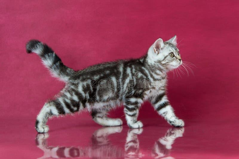 Tabby British-shorthair Kätzchen, Großbritannien-Katze auf Kirschstudiohintergrund mit Reflexion lizenzfreies stockbild