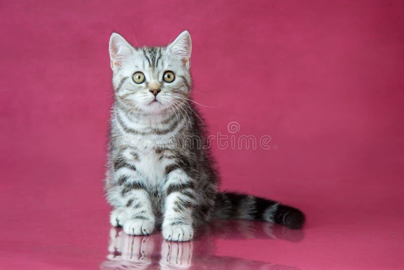 Tabby British-shorthair Kätzchen, Großbritannien-Katze auf Kirschstudiohintergrund mit Reflexion stockfotos