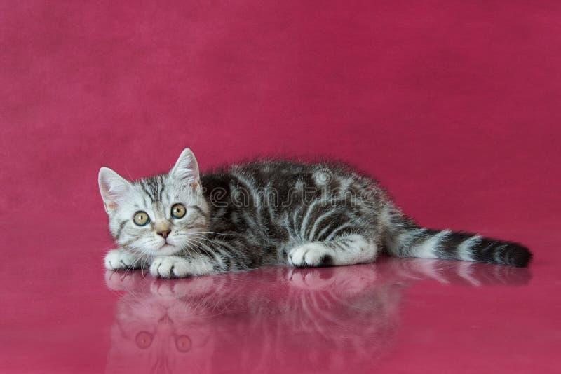 Tabby British-shorthair Kätzchen, Großbritannien-Katze auf Kirschstudiohintergrund mit Reflexion lizenzfreie stockbilder