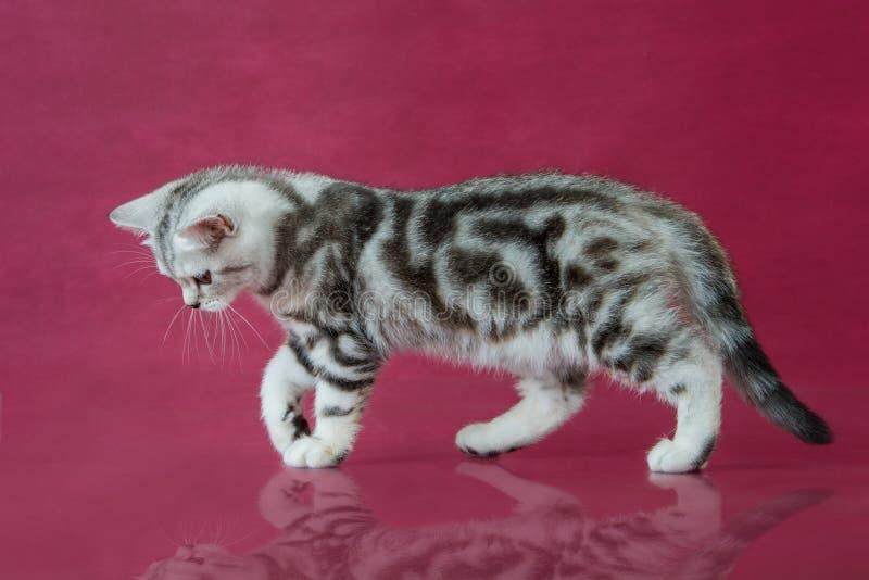 Tabby British-shorthair Kätzchen, Großbritannien-Katze auf Kirschstudiohintergrund mit Reflexion lizenzfreies stockfoto