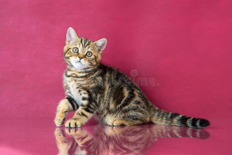 Tabby British-shorthair Kätzchen, Großbritannien-Katze auf Kirschstudiohintergrund mit Reflexion stockfotografie
