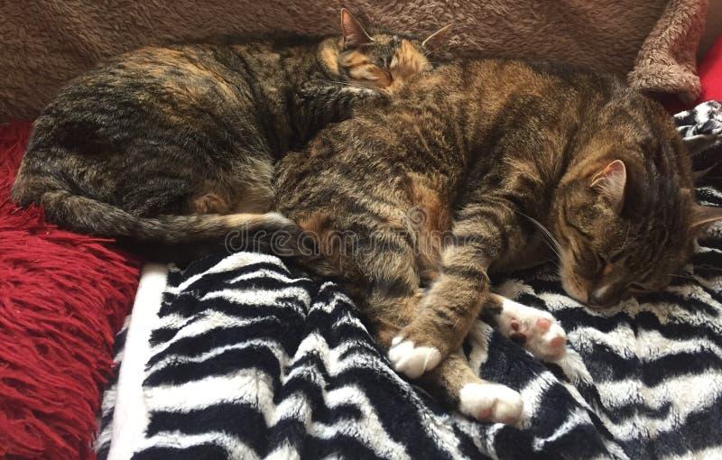 Tabby Brother e sorella che si rilassano insieme immagini stock