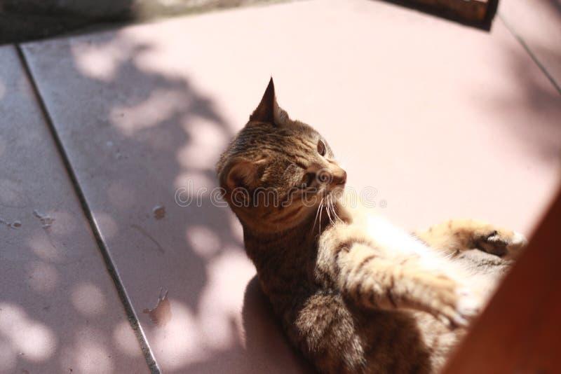 Кот tabby Brown стоковое фото