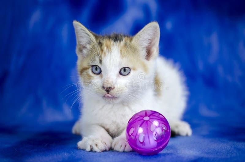 Tabby Calico Kitten blanca en fondo azul foto de archivo libre de regalías