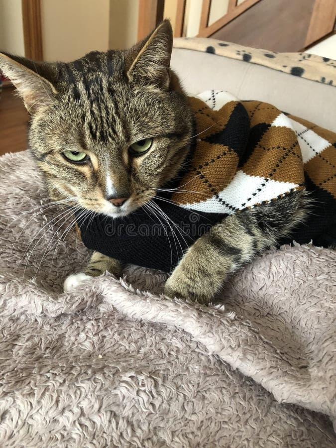 Tabby Cat é considerável na camiseta do argyle fotografia de stock