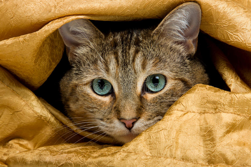Tabby Cat. Curious young tabby cat hiding under the sheets, ready to get in trouble royalty free stock photos