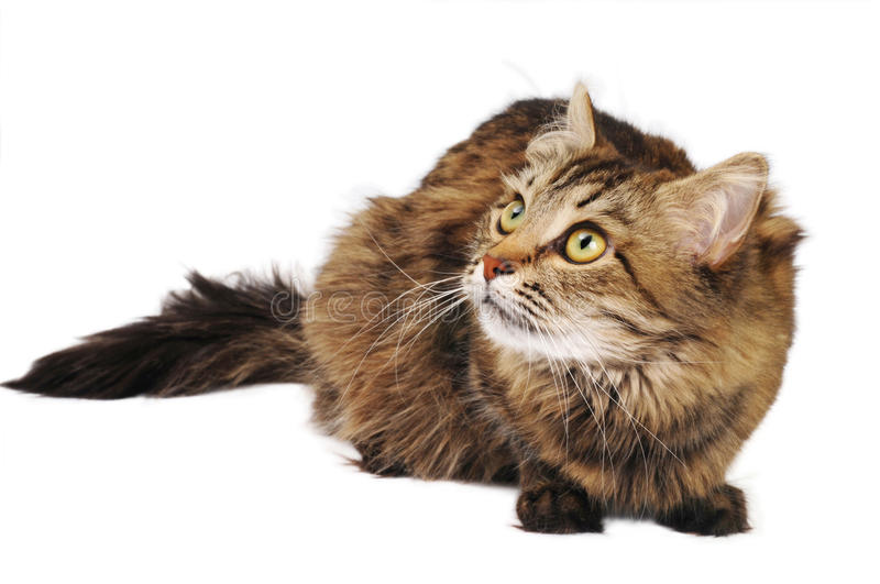 Tabby cat. Irritated cat ready for jumping and looking up on the white background royalty free stock images