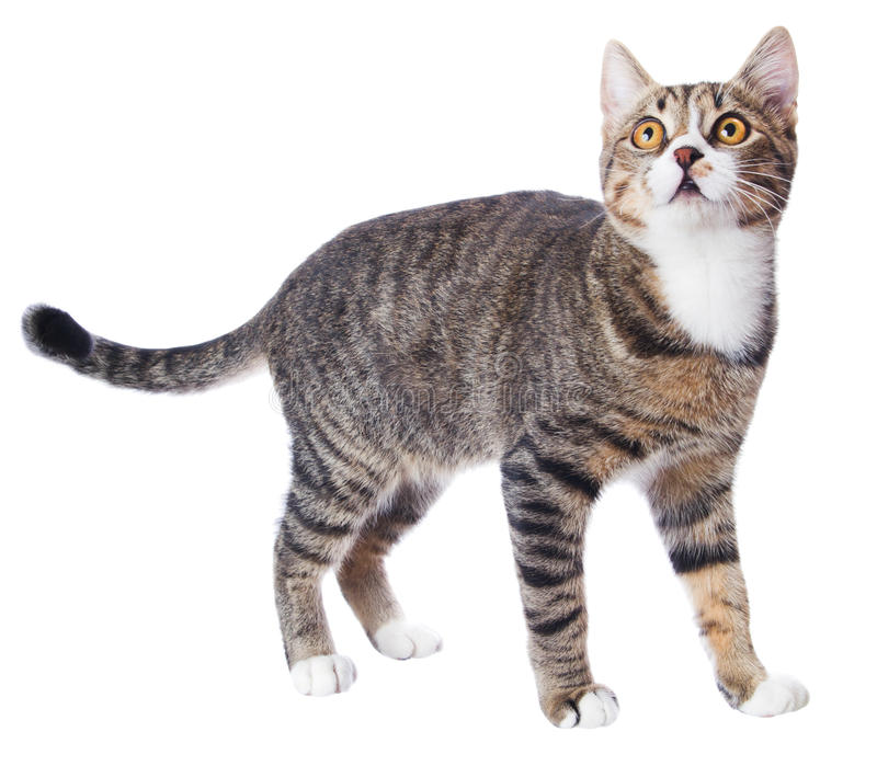 Tabby cat. See upwards, isolated on white royalty free stock image
