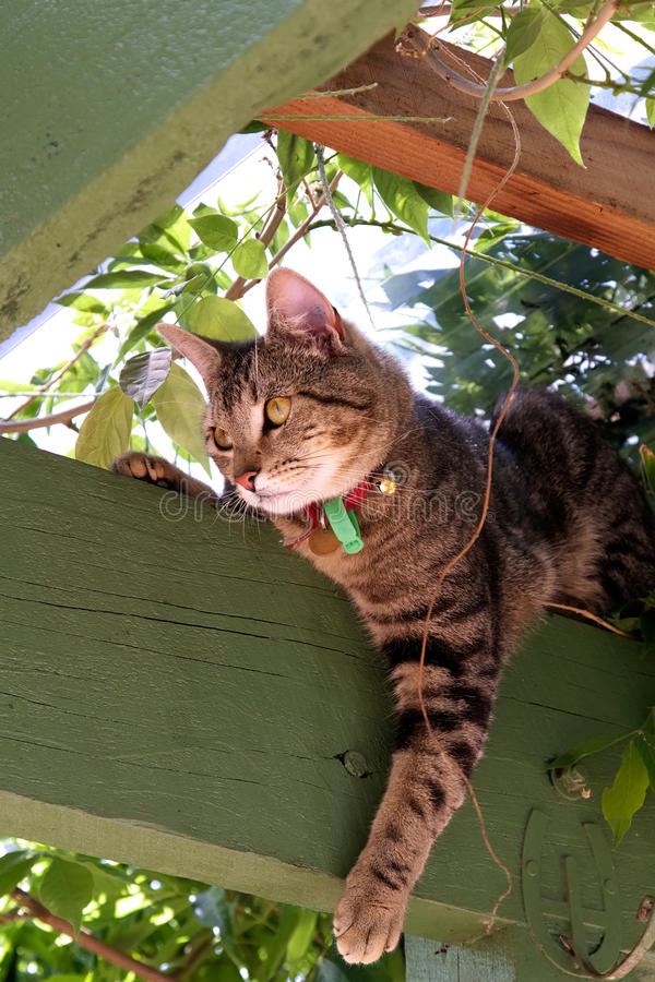 Tabby cat. A cute tabby cat relaxing in the rafters beneath a pergola stock images