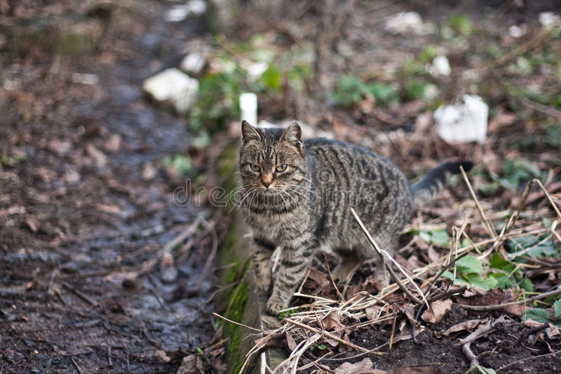 Download Tabby cat stock image. Image of curious, garden, tabby - 21789597