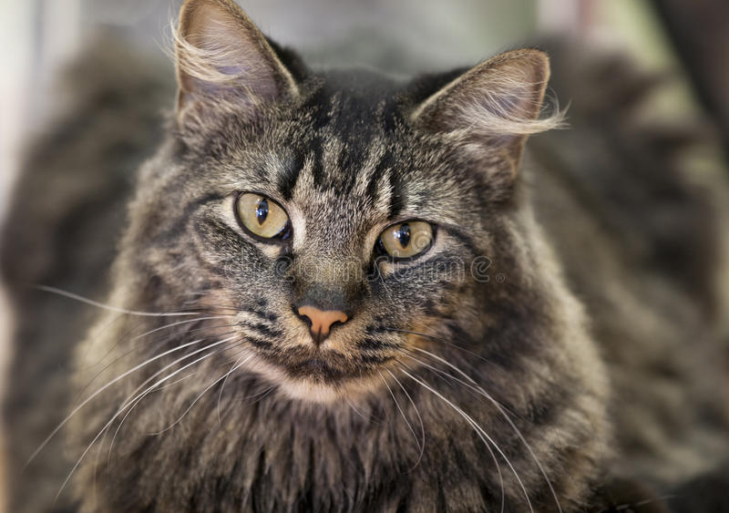Download Tabby cat stock image. Image of friendly, shallow, portrait - 28649707