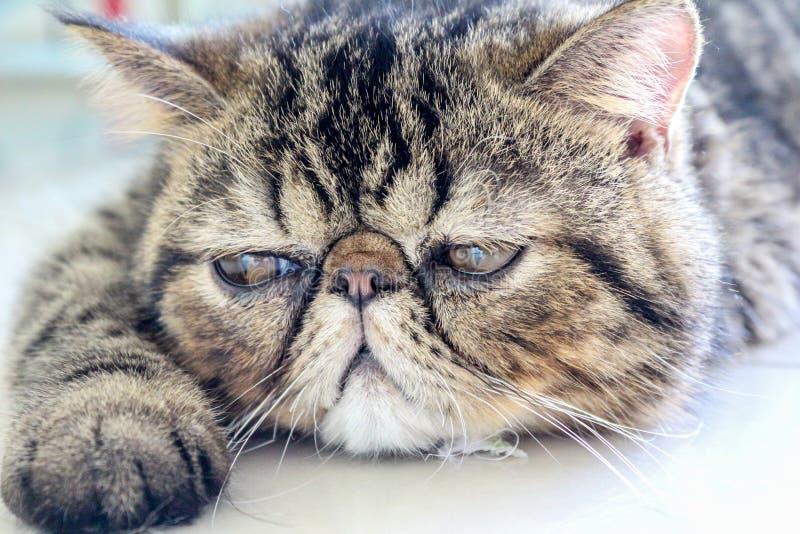 Tabby Cat lizenzfreies stockbild