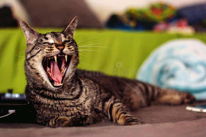 Tabby Cat photos stock