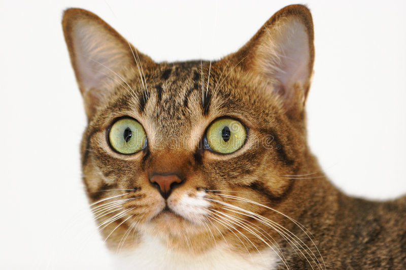 Download Tabby cat stock image. Image of shocked, look, shock, close - 674475