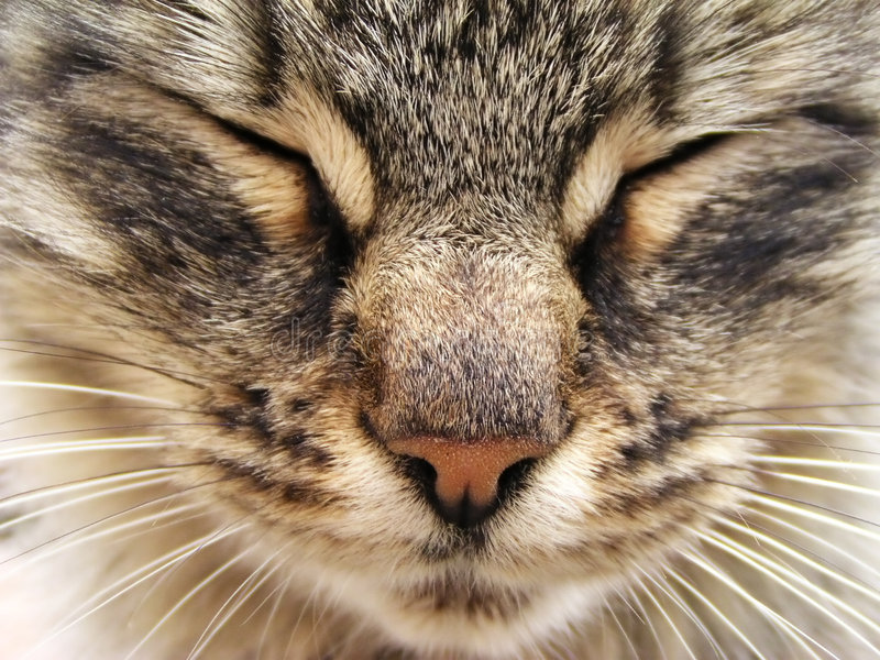 Tabby cat. Head close-up royalty free stock images