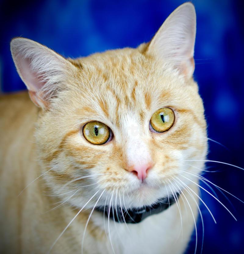 Tabby Cat alaranjada na obscuridade - fundo azul fotos de stock