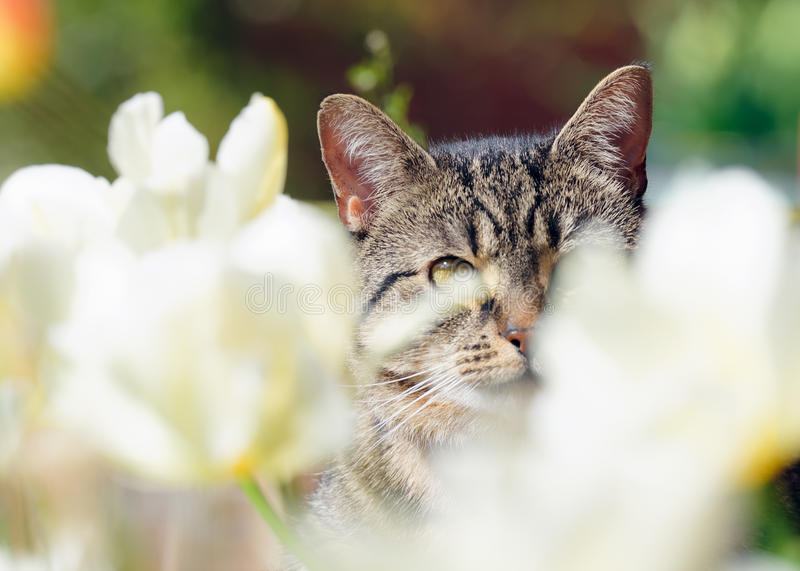 Tabby Cat Amongst Tulips lizenzfreie stockfotos