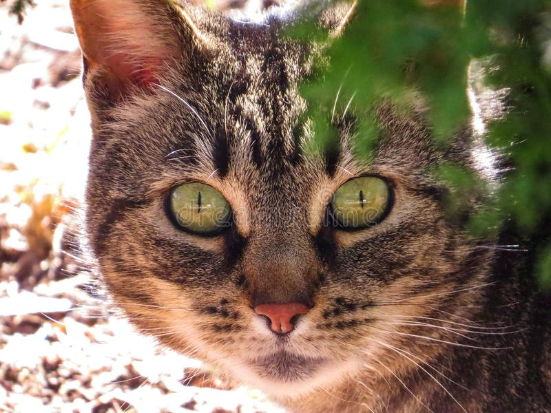 Tabby Cat With Bright Green Eyes que olha o close up reto foto de stock