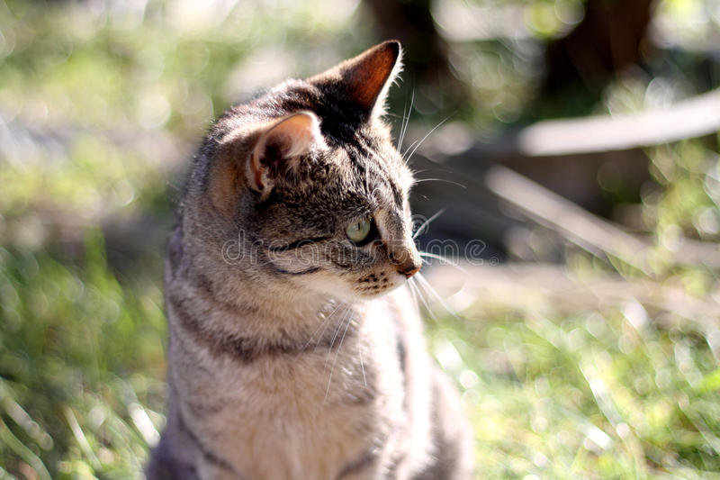 Tabby Cat. Brown tabby cat in the garden. Head close-up, selective focus stock photography