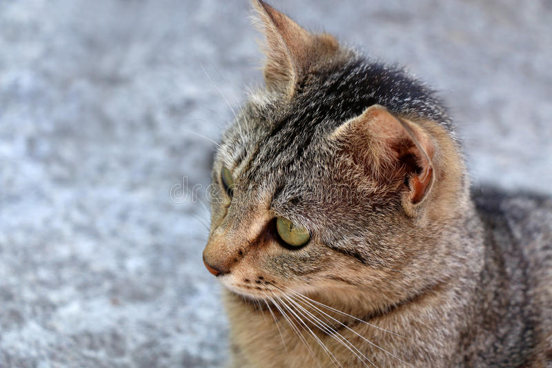 Tabby Cat. Brown tabby cat. Head close-up, selective focus royalty free stock photos