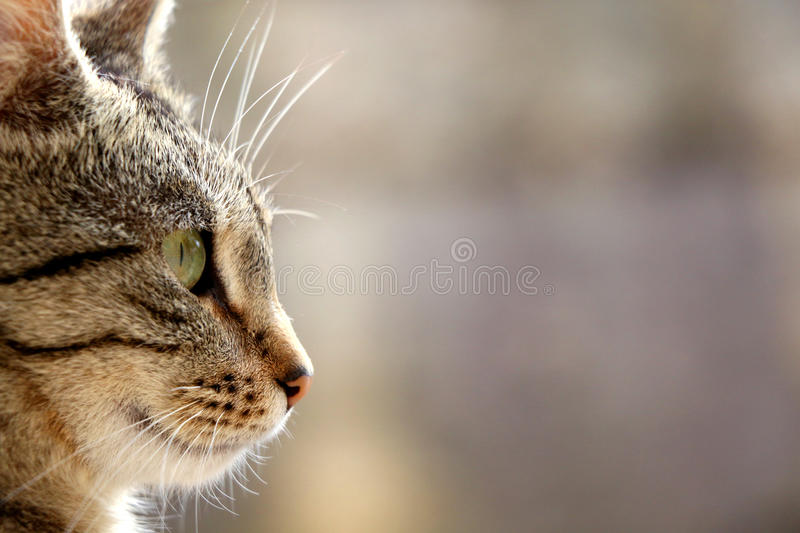 Tabby Cat. Brown tabby cat. Head close-up, selective focus royalty free stock image