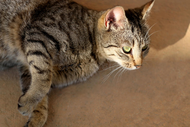 Tabby Cat. Brown tabby cat lying on the floor outdoor. Close-up, selective focus stock photography