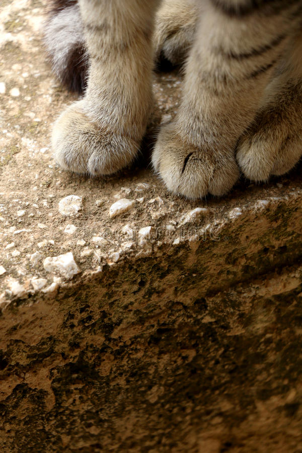 Tabby Cat. Brown tabby cat, paw close-up. Selective focus royalty free stock image