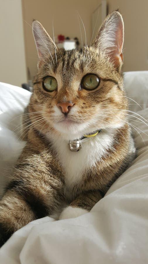 Tabby Cat che si rilassa sul letto fotografie stock
