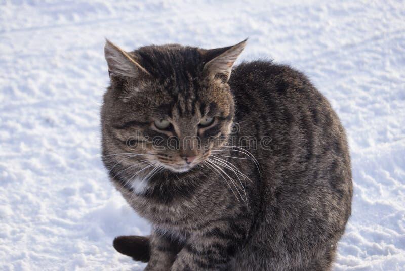 Tabby Cat Close-Up Senta-se na neve fotos de stock