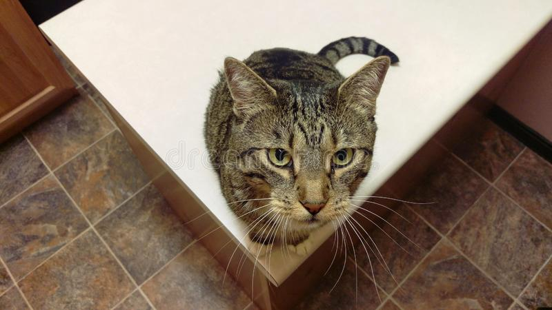 Tabby Cat with Whiskers Splayed. A tabby cat on a counter looking up with whiskers splayed stock image