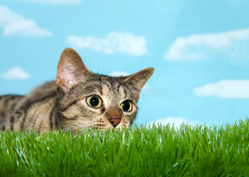 Tabby cat crouched to pounce in tall grass, pupils dilated. Young tabby cat peaking over grass to viewers right, pupils dilated ready to pounce. Blue background royalty free stock photo