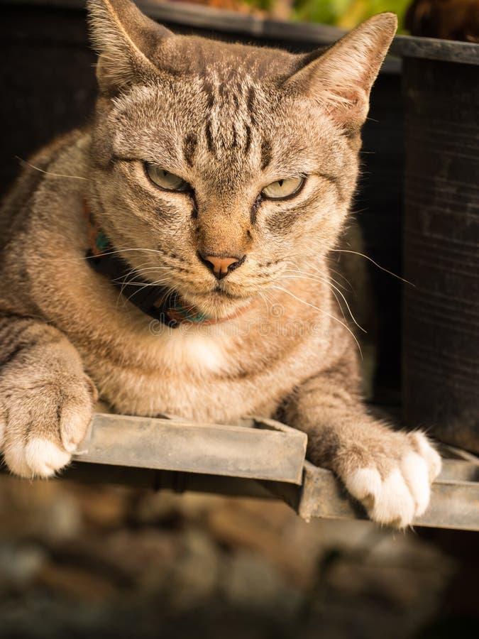 Tabby Cat Crouching imagem de stock royalty free