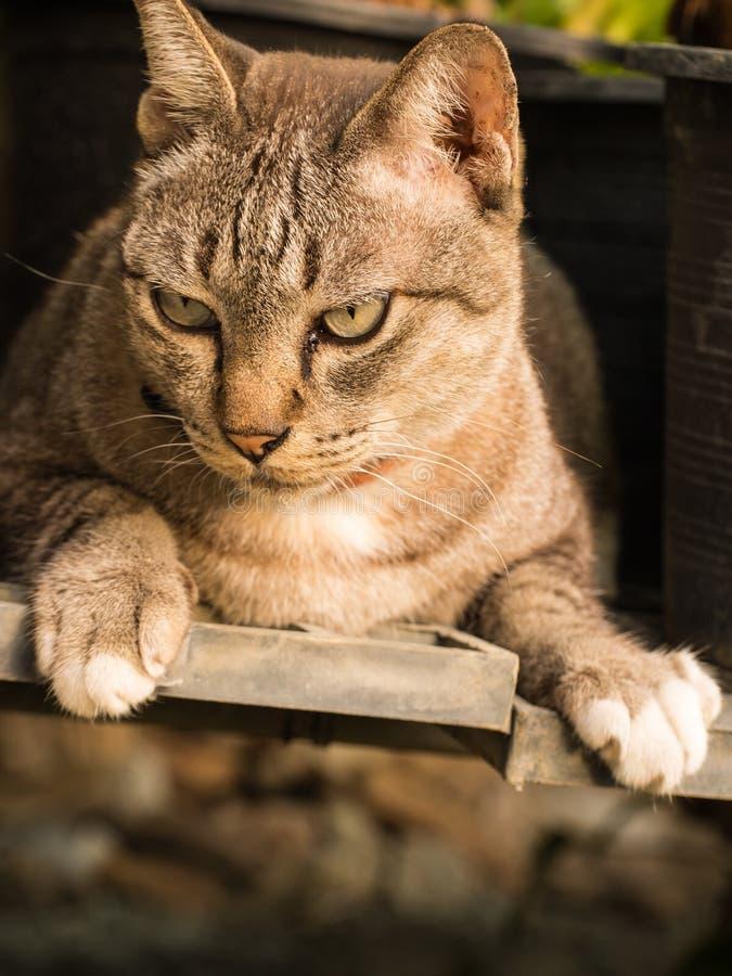 Tabby Cat Crouching fotografia de stock royalty free