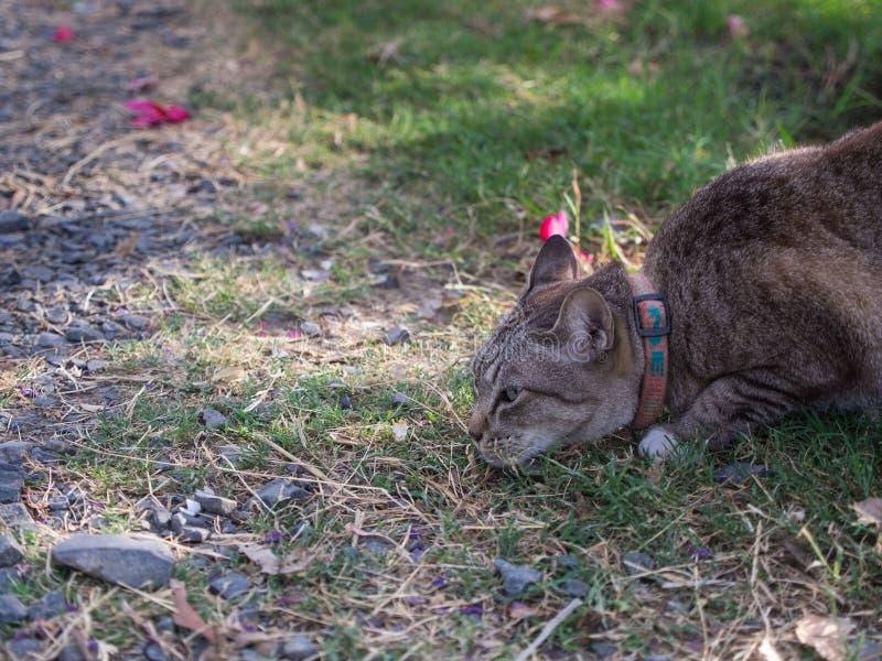 Tabby Cat Crouching imagen de archivo libre de regalías